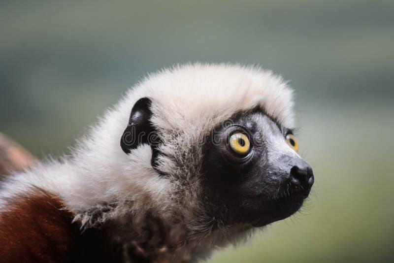 Coquerel's Sifaka Lemur. Bronx Zoo, New York, NY royalty free stock photos