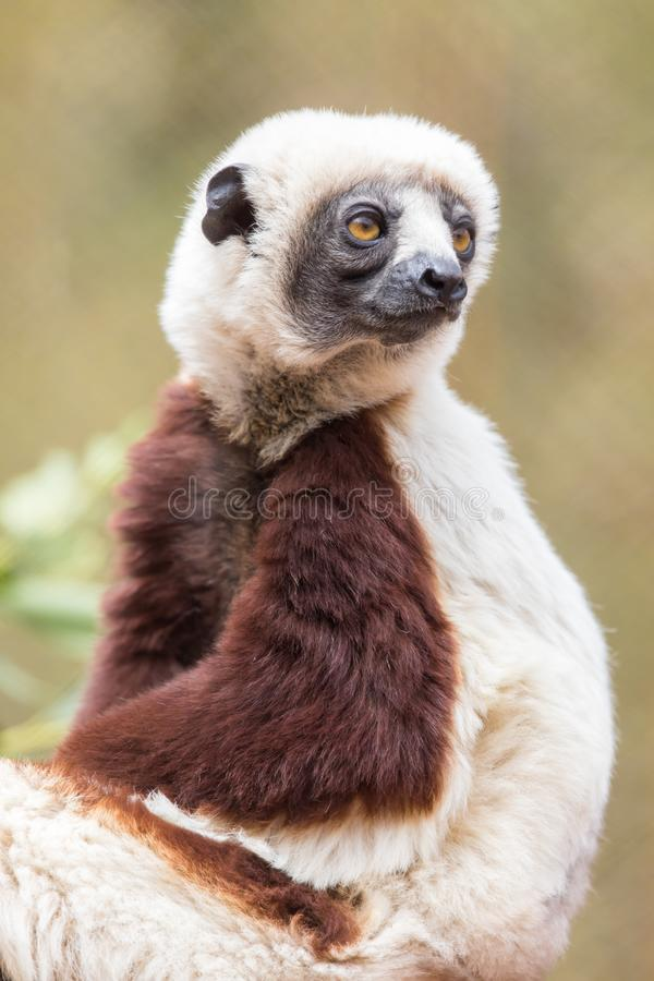 Coquerels sifaka posing. The Coquerel`s sifaka is a diurnal, medium-sized lemur of the sifaka genus Propithecus. It is native to Madagascar royalty free stock image