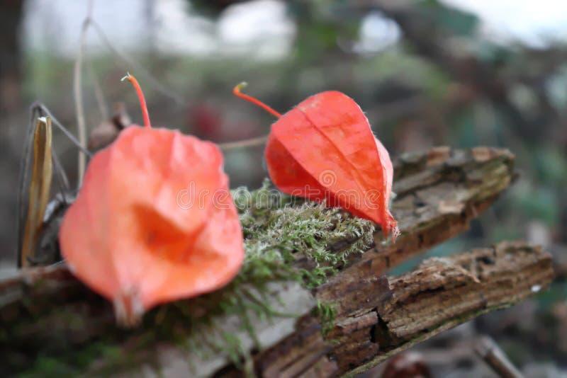 Coqueret comestible dans propre jardin en Allemagne en Bavière image libre de droits