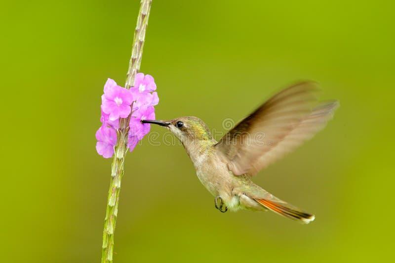 Coquete adornado, colibri colorido com crista alaranjada e colar no habitat verde e violeta da flor Voo do pássaro ao lado de foto de stock royalty free