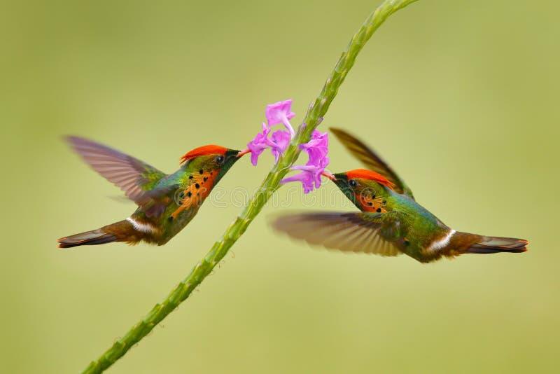 Coquete adornado, colibri colorido com crista alaranjada e colar no habitat verde e violeta da flor Voo do pássaro ao lado de imagens de stock royalty free