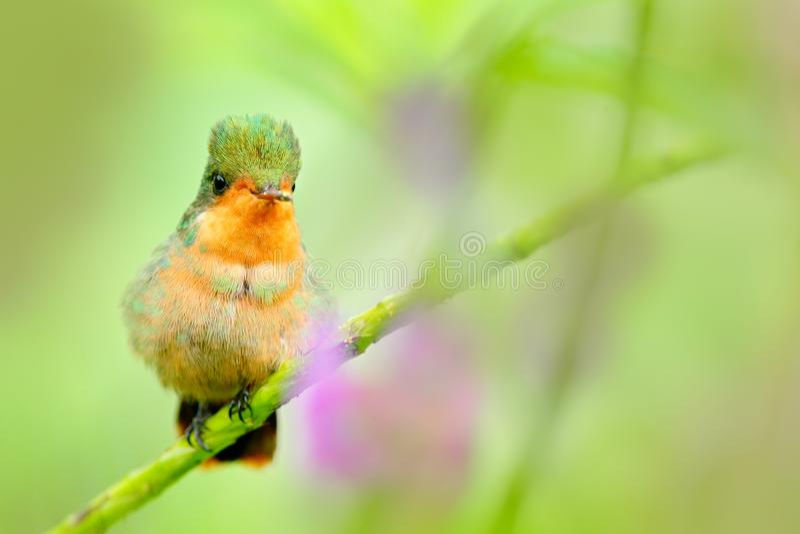 Coquete adornado, colibri colorido com crista alaranjada e colar no habitat verde e violeta da flor Voo do pássaro ao lado do pi imagem de stock royalty free