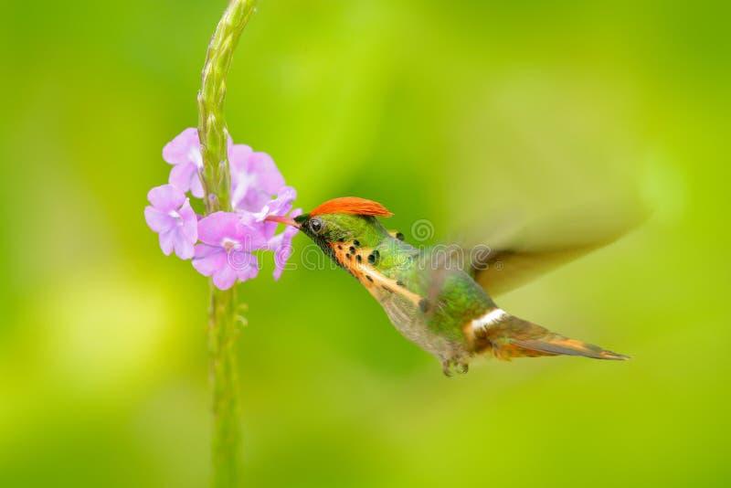 Coquete adornado, colibri colorido com crista alaranjada e colar no habitat verde e violeta da flor Voo do pássaro ao lado do pi imagens de stock