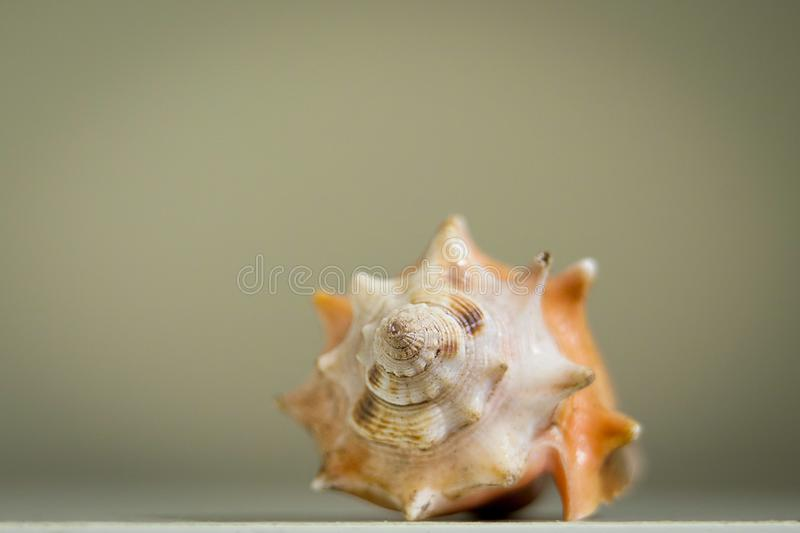 Coquillage simple grand et d'isolement photographie stock
