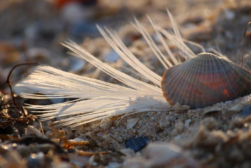 Coquillage sur la plage arénacée de la Mer Noire de l'Ukraine du sud photos libres de droits