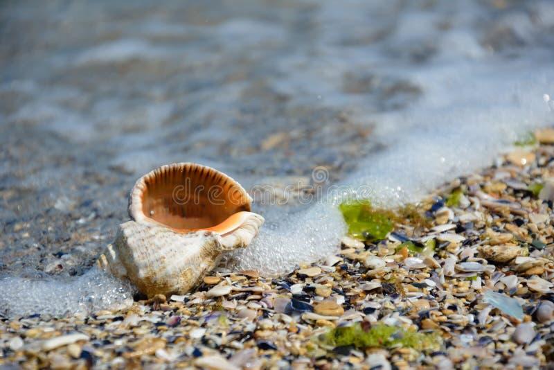 Coquillage sur le bord de la mer image stock