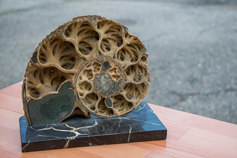 Coquille d'ammonite vue dans la section photo stock