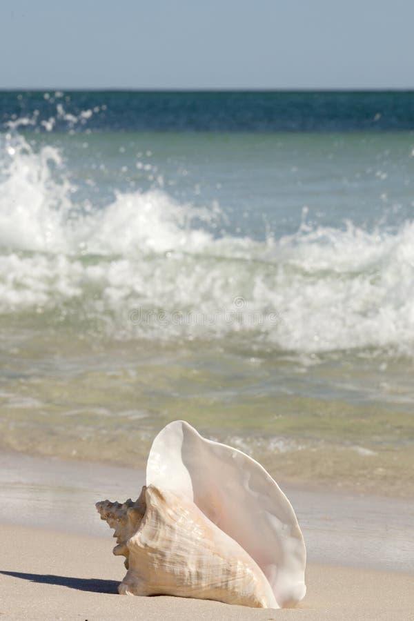 Coquille de conque de la Reine sur la plage photo stock