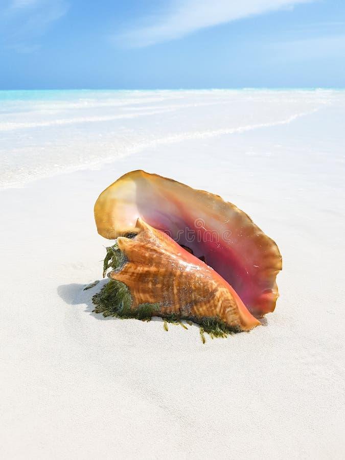 Coquille de conque sur la plage image stock