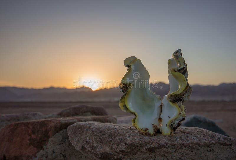Coquille de coque au coucher du soleil image libre de droits