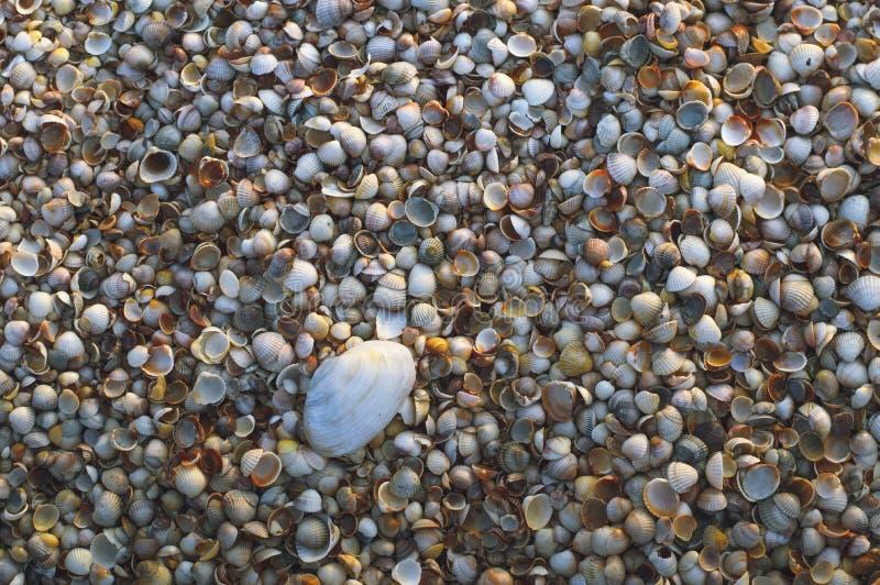 Coquille de coque sur le fond de plage de mer image libre de droits