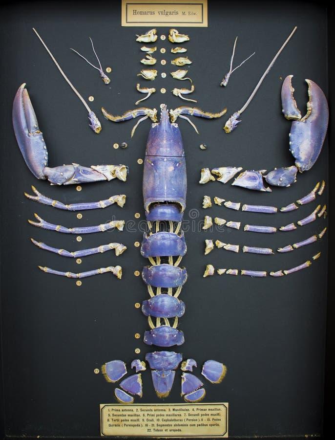 Coquille de homard de la Mer du Nord segmentée et montrée photos libres de droits