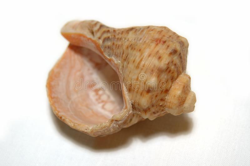 Coquille de mer images stock