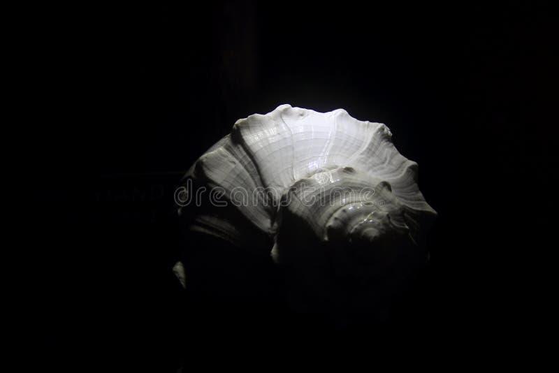 Coquille de mer blanche image libre de droits