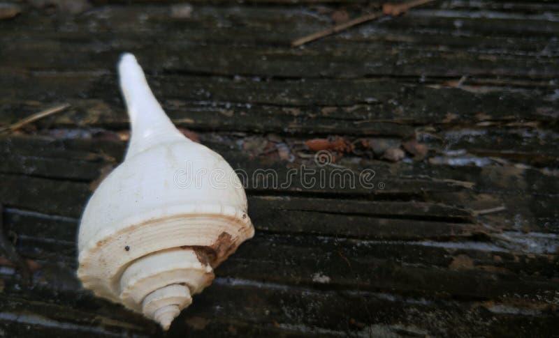 Coquille de mer blanche photos stock