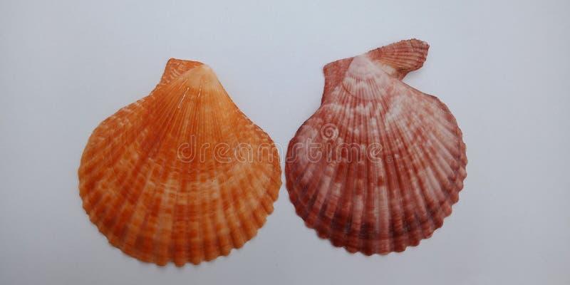 Coquille de mer orange et brune avec le papier peint blanc de fond, image libre de droits