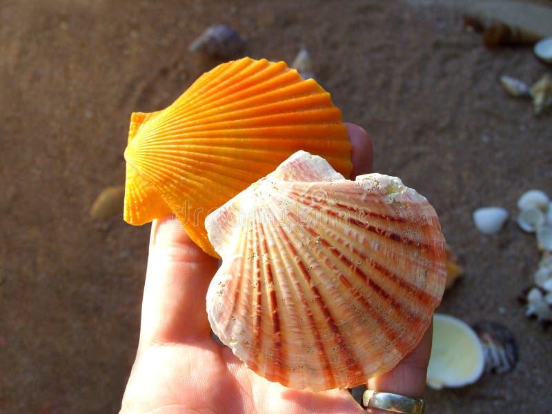 Coquille de mer sur la paume photo stock