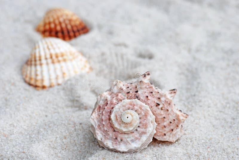 Coquille de mer sur le sable image libre de droits