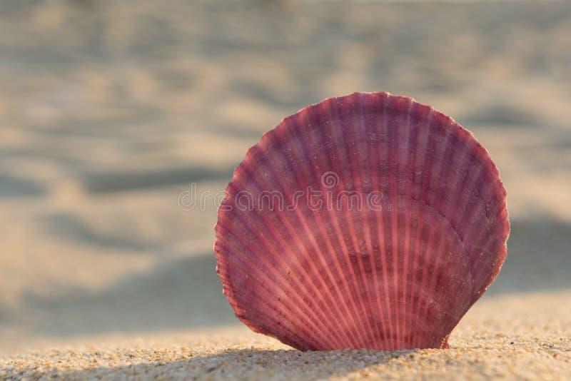 Coquille de mer sur une plage sablonneuse image stock