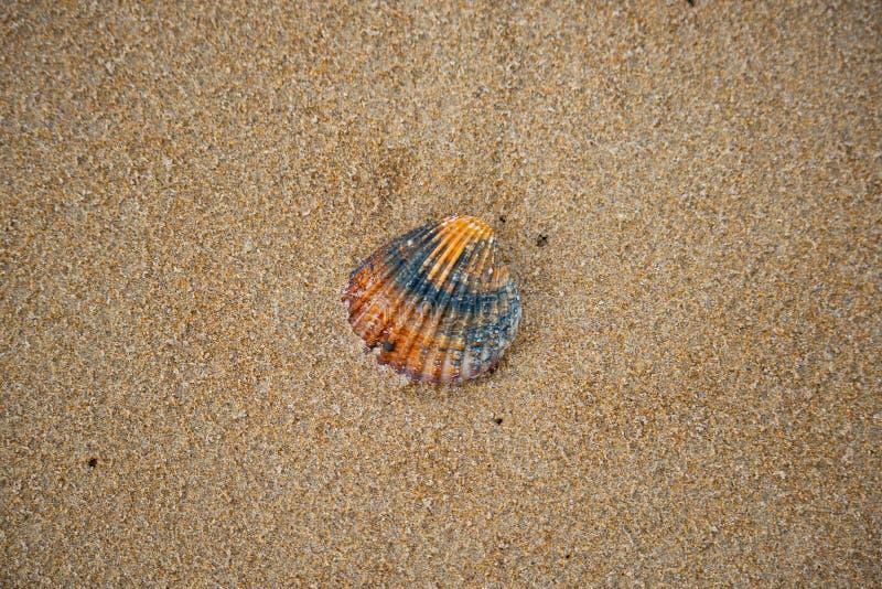 Coquille de mer sur une plage sablonneuse photos stock