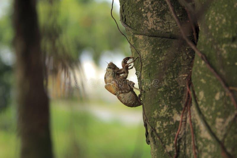 Coquille en gros plan de cigale d'insecte photo libre de droits