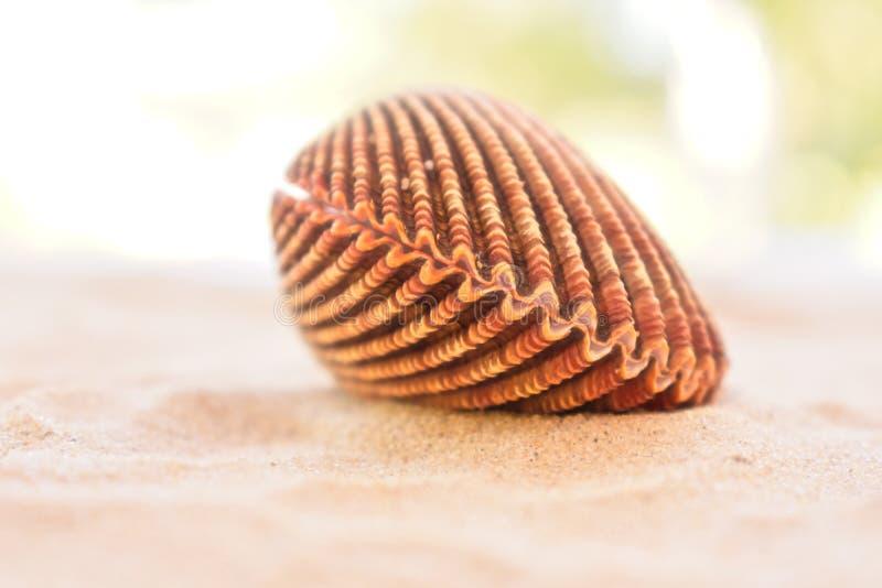 Coquille fermée de coque sur une plage sablonneuse photo stock