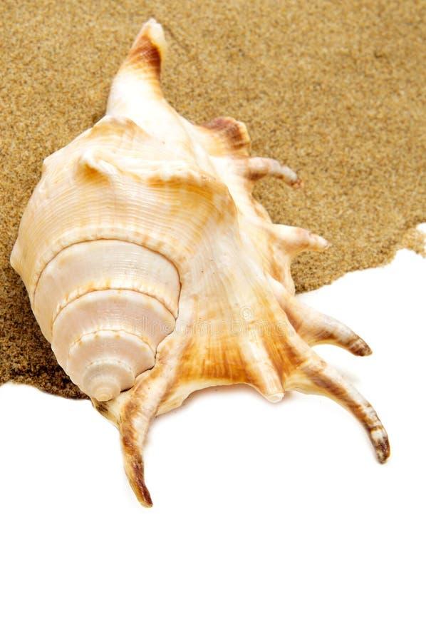 Coquille géante de conque d'araignée sur le sable photographie stock