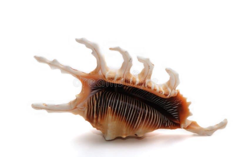 Coquille rare de mer sur le fond blanc. photo libre de droits
