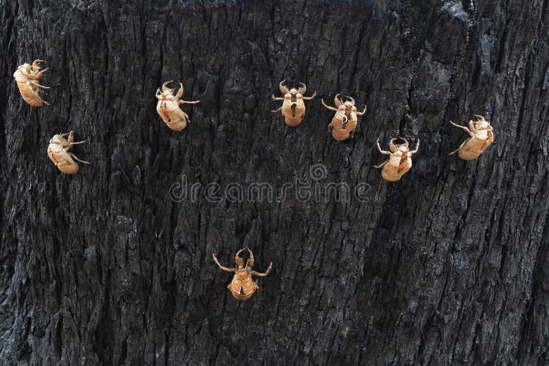 Coquilles de Cicade sur l'écorce d'arbre image libre de droits