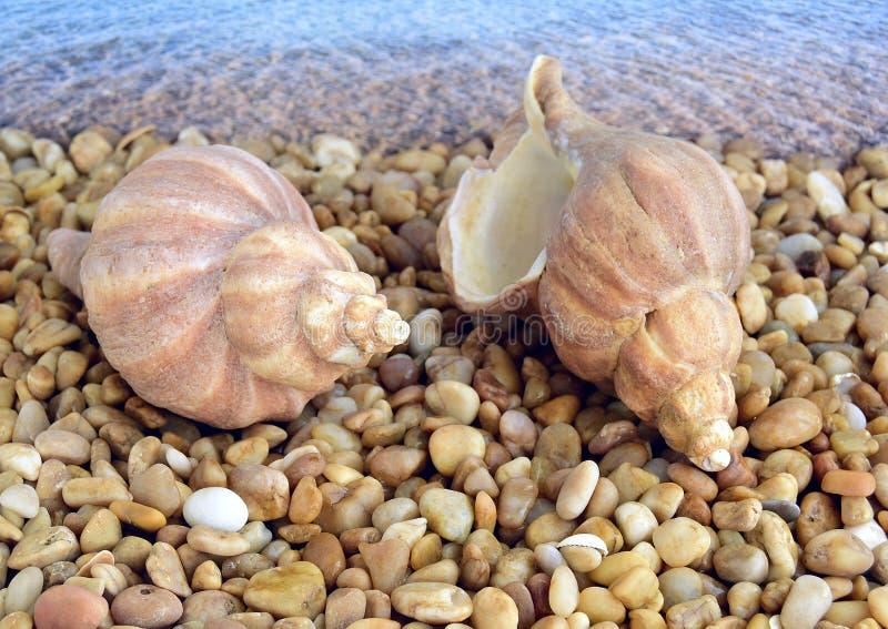 Coquilles de coque de mer photo stock