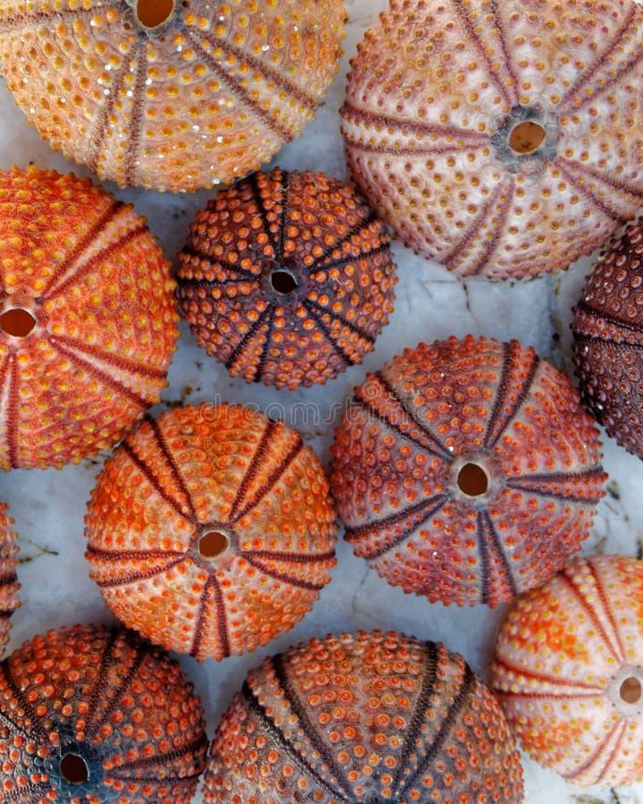 Coquilles de couleur orange rouges d'oursin sur la plage rocheuse blanche image libre de droits