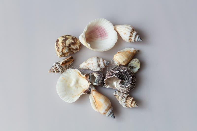 Coquilles de mer d'isolement sur le fond gris photographie stock