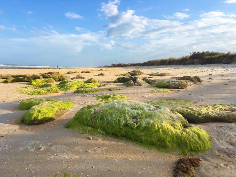 Coquinarotsen met groen mos in Washington Oaks State Park Beach stock foto's
