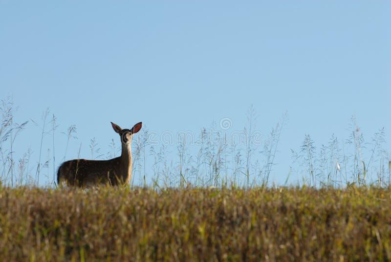 corça Branco-atada dos cervos fotografia de stock
