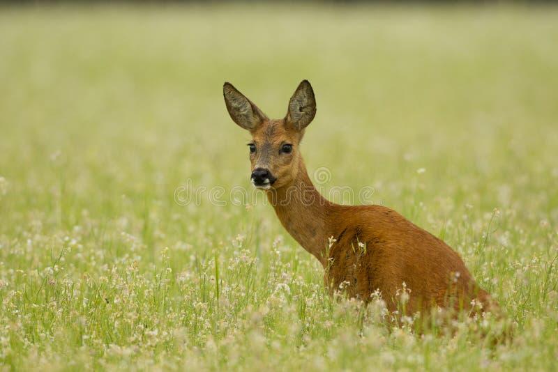 Corça dos cervos das ovas que senta-se no trigo mourisco foto de stock royalty free