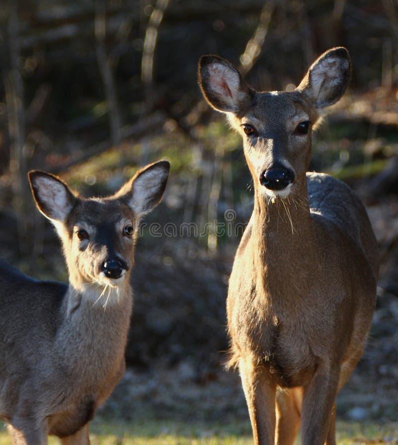 Corça e jovem corça dos cervos de Whitetail fotos de stock royalty free