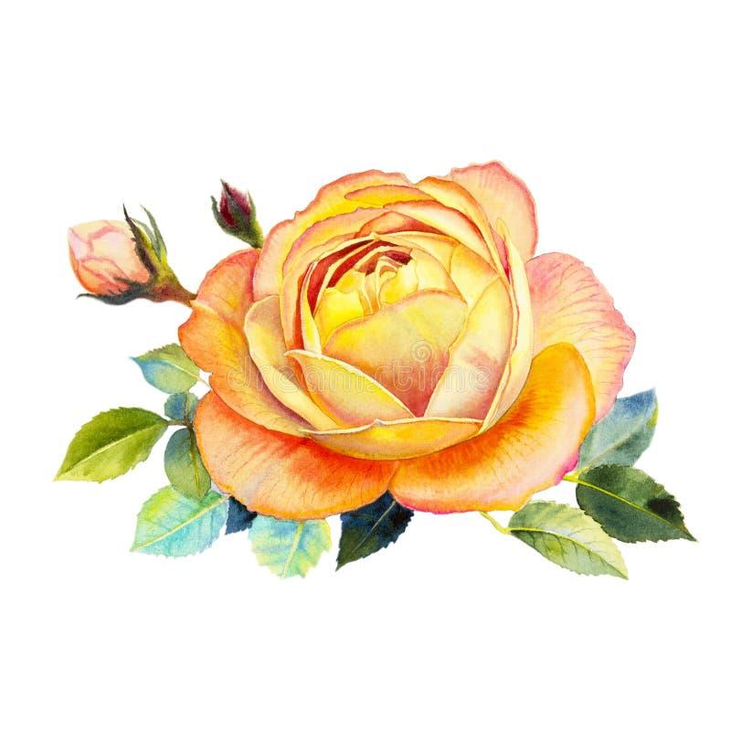 A cor alaranjada da ilustração da flor da aquarela da arte da pintura de aumentou ilustração do vetor