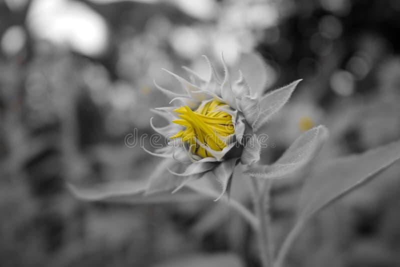 Cor amarela do girassol no cinza fotografia de stock
