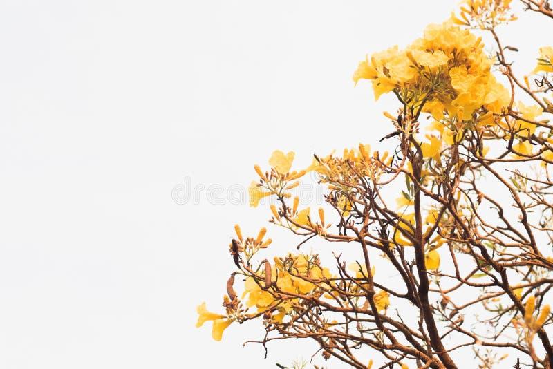 Cor amarela do verão da mola da flor da flor para isolar o fundo branco fotos de stock
