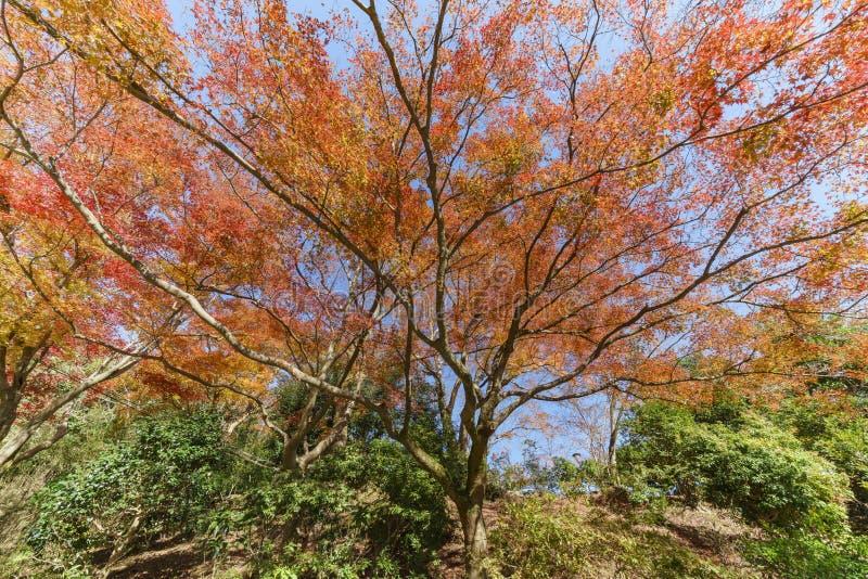 Cor bonita da queda em Arashiyama foto de stock