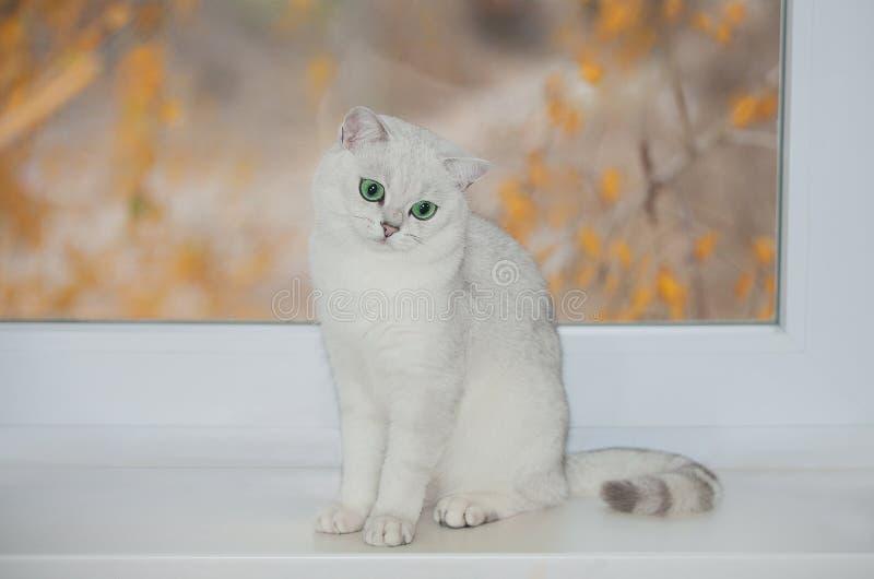 Cor britânica da prata do gato imagem de stock royalty free