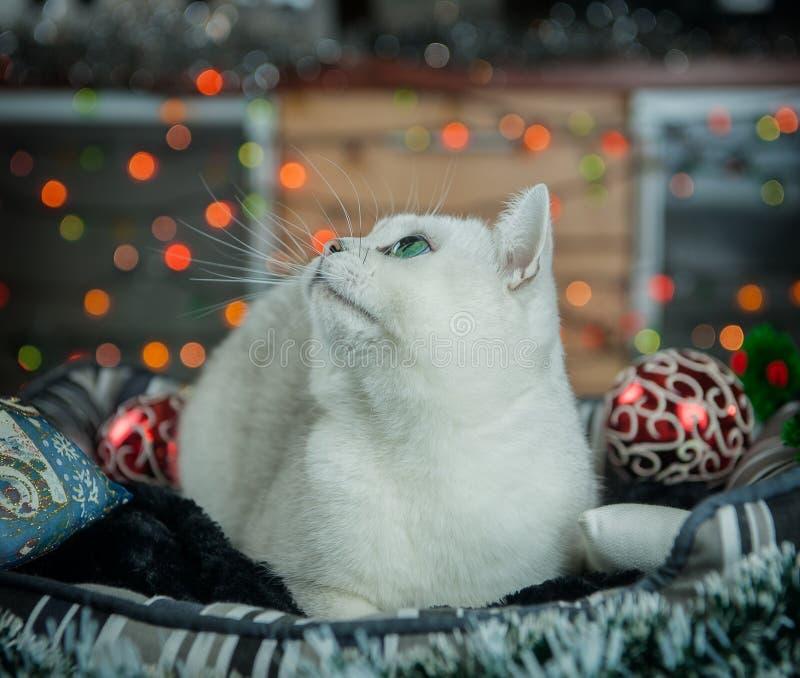 Cor britânica da prata do gato imagens de stock