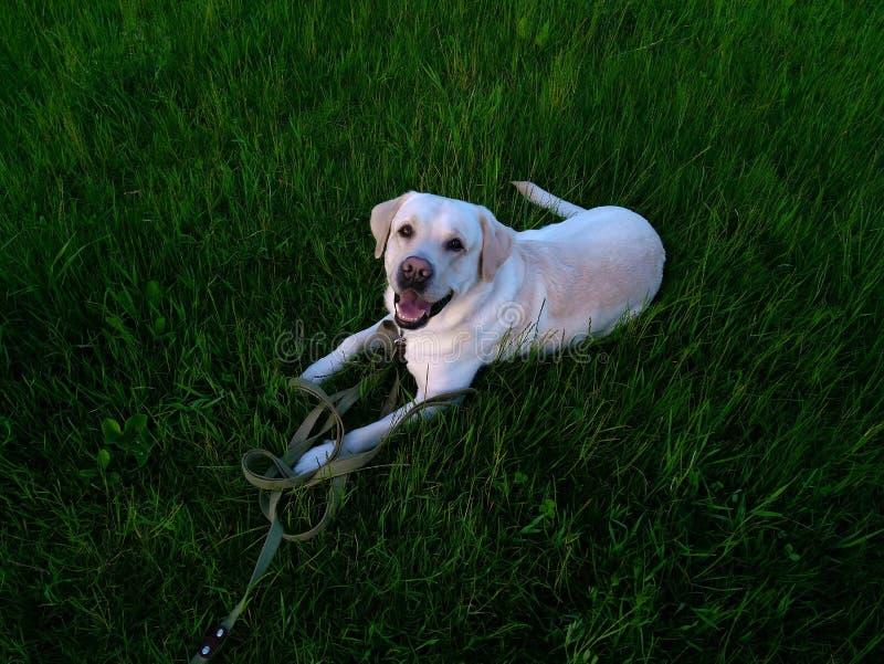 Cor da jovem corça do cão de labrador retriever imagens de stock royalty free