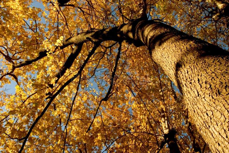 Cor da queda, bosque 12 do olmo da cortiça foto de stock royalty free