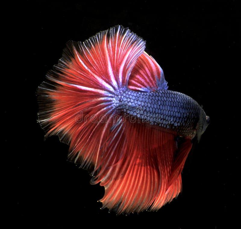 A cor de peixes de combate tailandeses imagens de stock royalty free