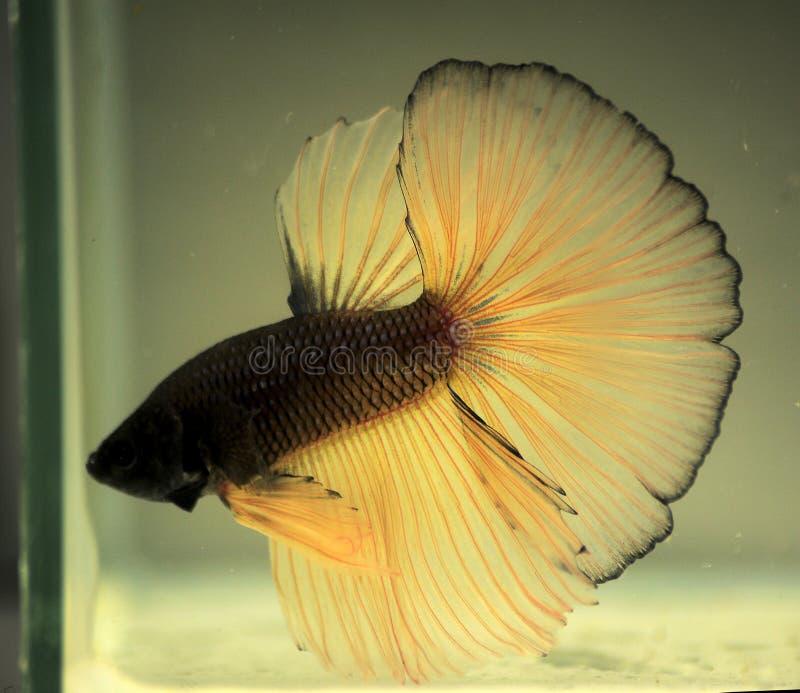 A cor de peixes de combate tailandeses fotografia de stock