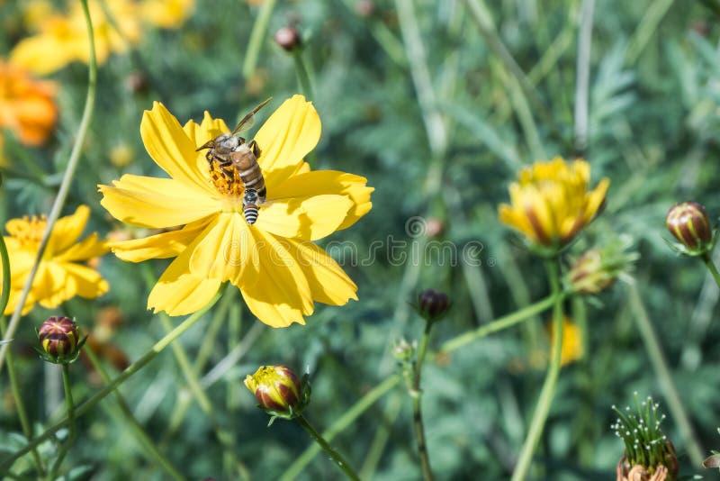 cor de processo, abelha na flor que surpreende, abelha polinizada do yello fotos de stock