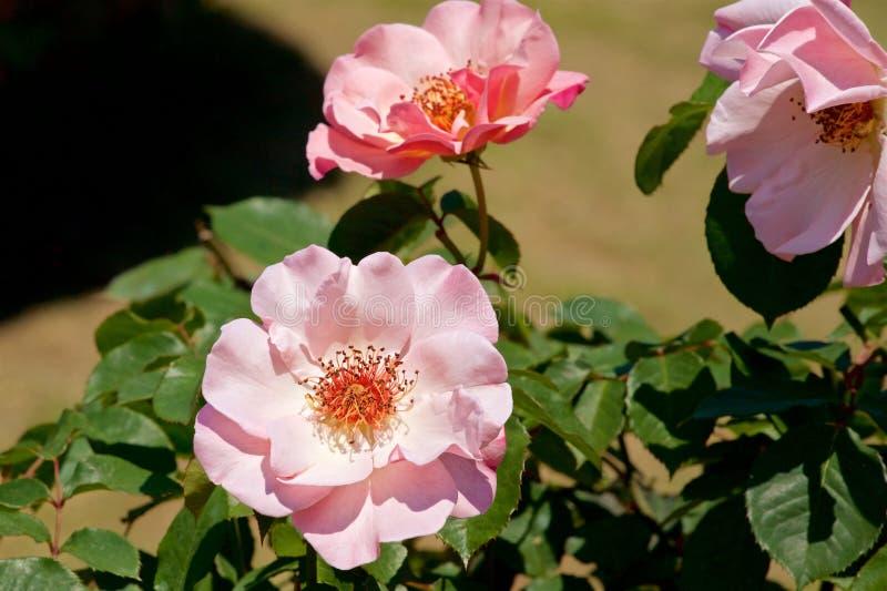 A cor cor-de-rosa bonita aumentou florescido no jardim imagens de stock