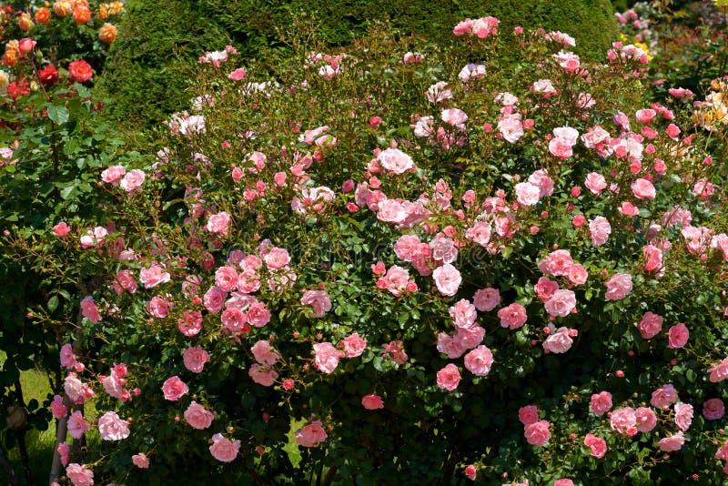 A cor cor-de-rosa bonita aumentou florescido no jardim imagem de stock royalty free