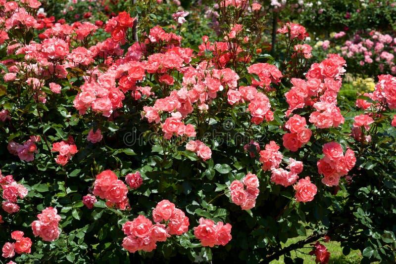 A cor cor-de-rosa bonita aumentou florescido no jardim foto de stock